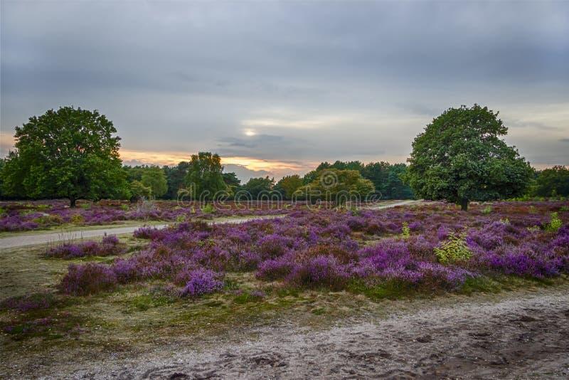 Ηλιοβασίλεμα πέρα από τους τομείς ερείκης, Κάτω Χώρες στοκ εικόνες