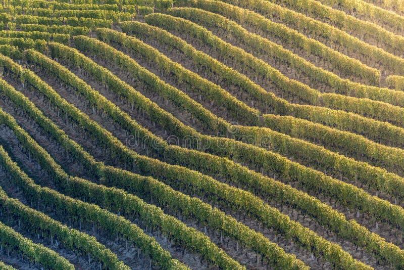 Ηλιοβασίλεμα στην ιταλική περιοχή λόφων που καλείται langhe με το ώριμο grapewine στοκ εικόνες με δικαίωμα ελεύθερης χρήσης