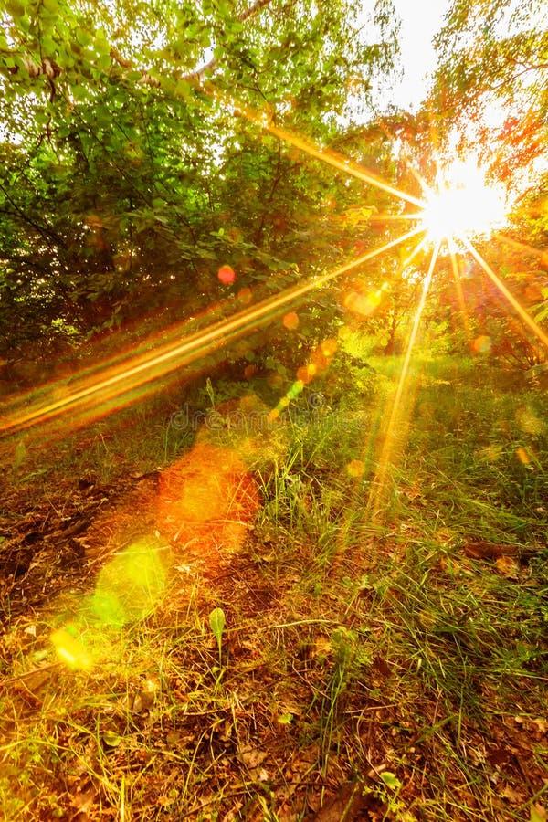 Ηλιοφάνεια ηλιοβασιλέματος στο δάσος στοκ εικόνα με δικαίωμα ελεύθερης χρήσης