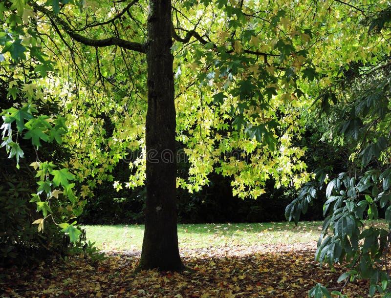 ηλιοφάνεια μέσω των φύλλων σφενδάμου φθινοπώρου στοκ εικόνα με δικαίωμα ελεύθερης χρήσης