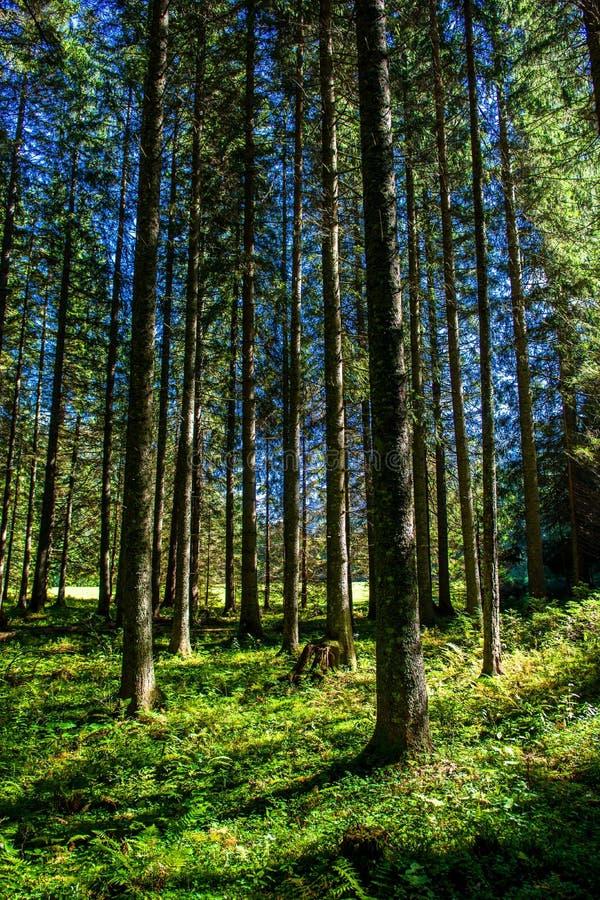 Ηλιοφώτιστο δάσος στην Αυστρία στοκ φωτογραφία