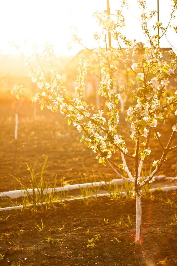 Ηλιοφώτιστο ανθίζοντας δέντρο μηλιάς στοκ φωτογραφία