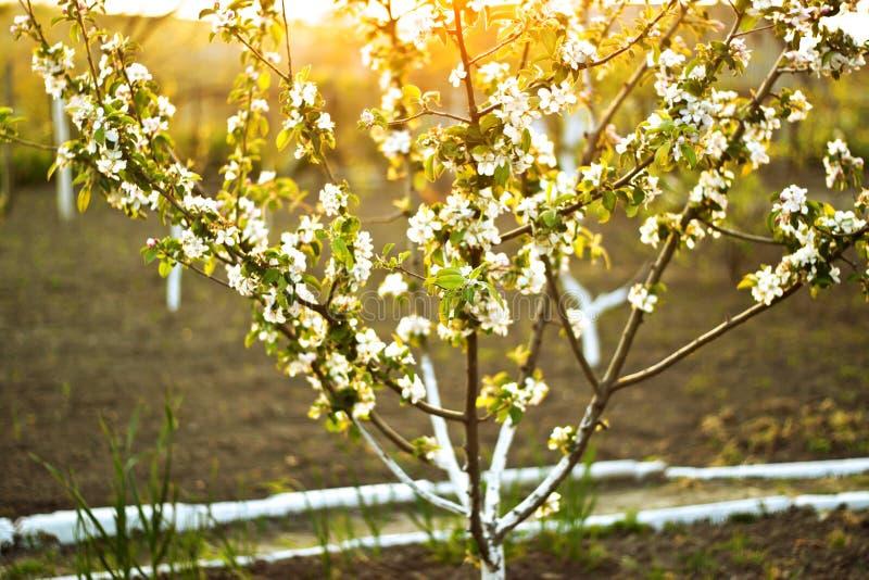 Ηλιοφώτιστο ανθίζοντας δέντρο μηλιάς στοκ φωτογραφίες