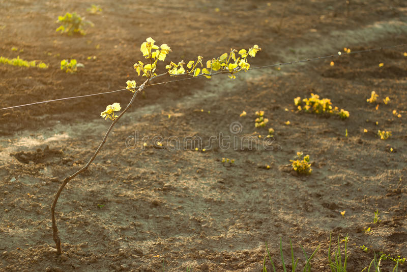 Ηλιοφώτιστο σταφύλι στοκ φωτογραφίες