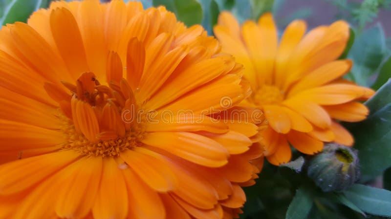 ηλιόλουστος επάνω λουλουδιών ημέρας calendula στενός στοκ φωτογραφία