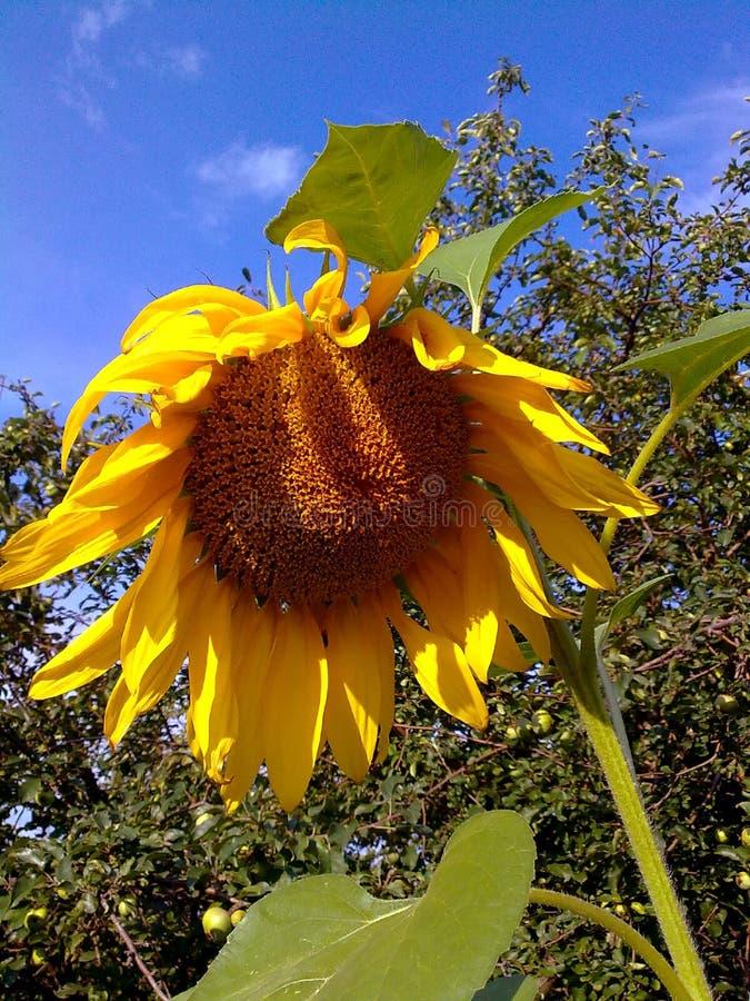 Η κίτρινη ζωή κήπων ουρανού λουλουδιών ηλίανθων ο ουρανός κήπων στοκ εικόνες με δικαίωμα ελεύθερης χρήσης