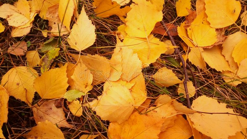 η κίτρινη πτώση φύλλων αφήνει τη δασική πεσμένη ομορφιά φύλλων του φθινοπώρου στοκ εικόνες