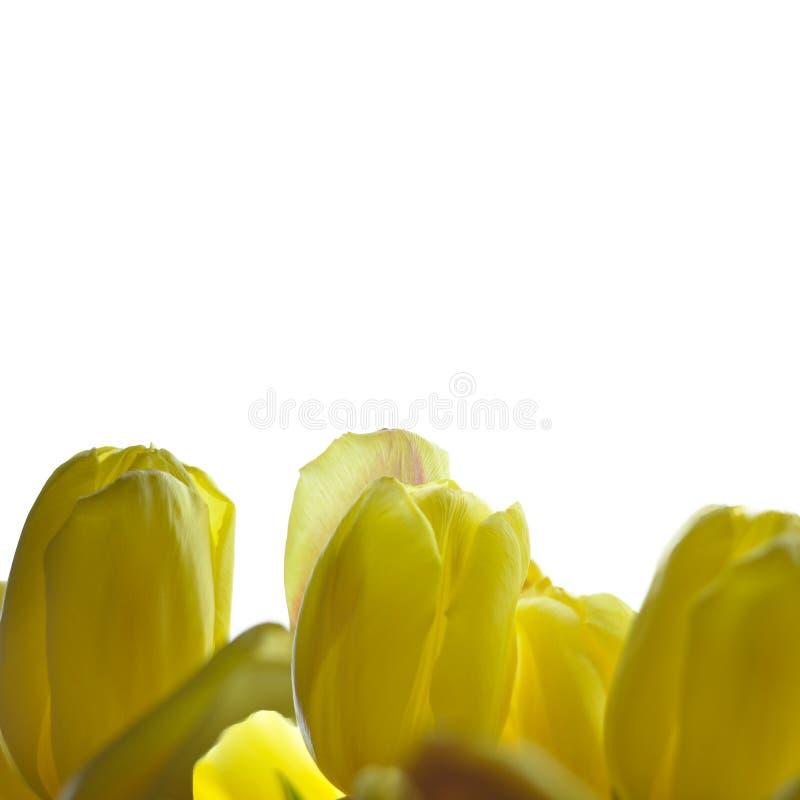 Η κίτρινη τουλίπα ανθίζει τα σύνορα που απομονώνονται στο άσπρο υπόβαθρο στοκ εικόνες με δικαίωμα ελεύθερης χρήσης