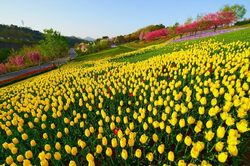 Η κίτρινη τουλίπα ανθίζει στη βουνοπλαγιά στοκ εικόνες
