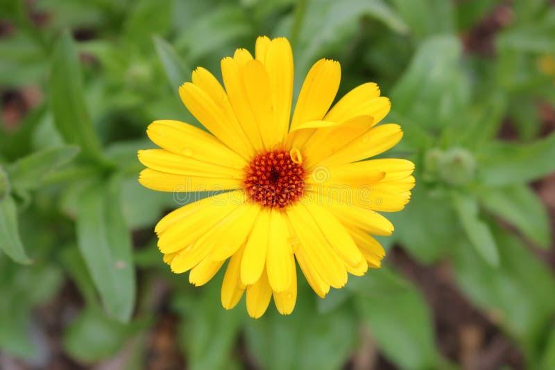 Η κίτρινη Daisy και σπασμένο πεντάλι στοκ φωτογραφία με δικαίωμα ελεύθερης χρήσης