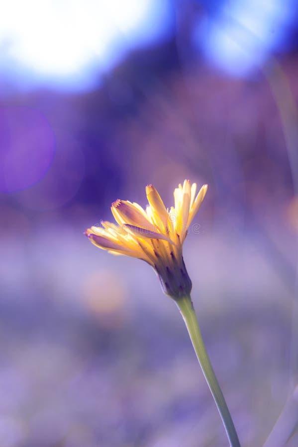 Η κίτρινη Daisy στο πορφυρό φως στοκ εικόνα