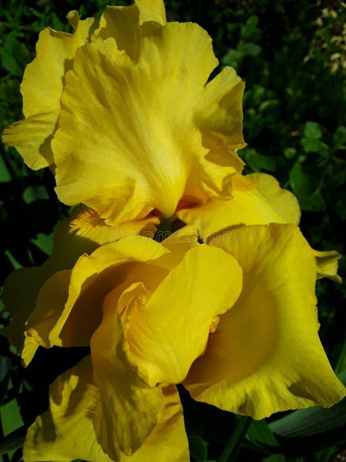 Η κίτρινη Iris που ανοίγει τα πεντάλια του στον ήλιο στοκ φωτογραφίες με δικαίωμα ελεύθερης χρήσης