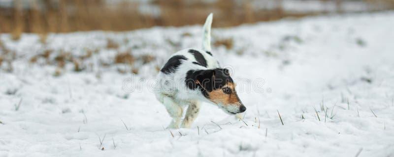 Η καθαρής φυλής μύτη τεριέ του Jack Russell tricolor ακολουθεί μια διαδρομή το χιονώδη χειμώνα στοκ φωτογραφία