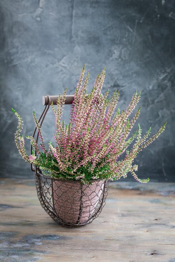 Η καλλιεργημένη σε δοχείο ρόδινη vulgaris ή κοινή ερείκη calluna ανθίζει τη στάση στο ξύλινο υπόβαθρο στοκ εικόνες