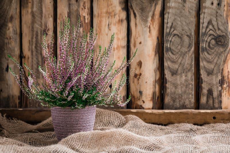 Η καλλιεργημένη σε δοχείο ρόδινη vulgaris ή κοινή ερείκη calluna ανθίζει τη στάση στο ξύλινο υπόβαθρο στοκ φωτογραφίες με δικαίωμα ελεύθερης χρήσης
