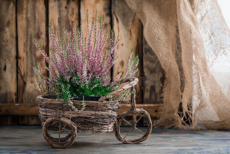 Η καλλιεργημένη σε δοχείο ρόδινη vulgaris ή κοινή ερείκη calluna ανθίζει τη στάση στο ξύλινο υπόβαθρο στοκ εικόνα