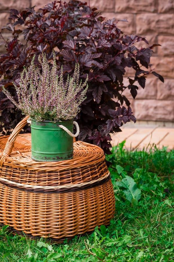 Η καλλιεργημένη σε δοχείο ρόδινη vulgaris ή κοινή ερείκη calluna ανθίζει τη στάση στο υπόβαθρο καλαθιών στοκ φωτογραφίες με δικαίωμα ελεύθερης χρήσης