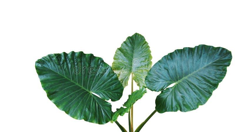 Η καρδιά διαμόρφωσε τα σκούρο πράσινο φύλλα του αυτιού ελεφάντων ή των γιγαντιαίων Taro macrorrhizos Alocasia, τροπικό φυτό τροπι στοκ φωτογραφίες