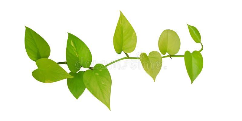 Η καρδιά διαμόρφωσε τον πράσινο κίτρινο κισσό φύλλων που απομονώθηκε στο άσπρο υπόβαθρο, πορεία στοκ φωτογραφία με δικαίωμα ελεύθερης χρήσης