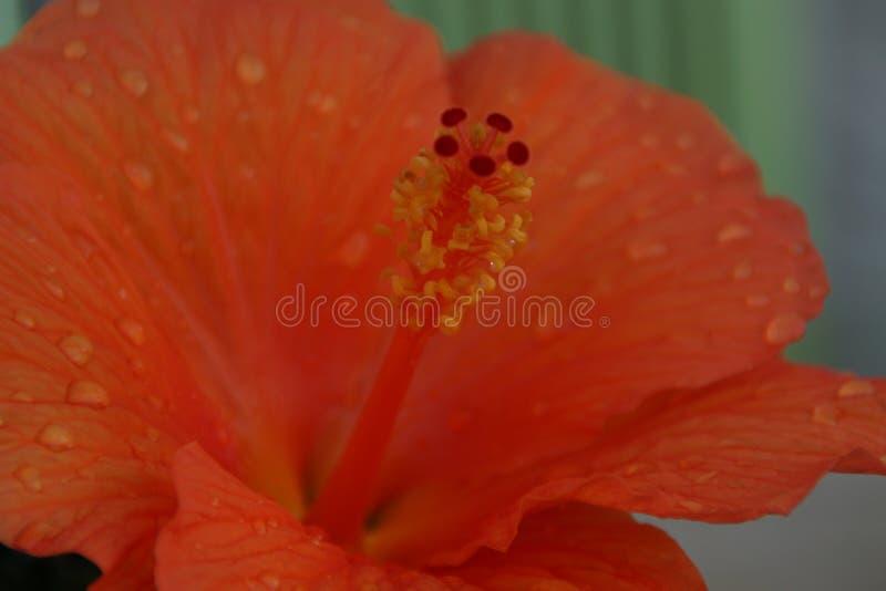 Η καρδιά ενός πορτοκαλιού λουλουδιού στοκ φωτογραφία