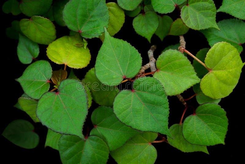 Η καρδιά διαμόρφωσε τα πράσινα φύλλα hibiscus θάλασσας Hibiscus του tiliaceus μ στοκ φωτογραφία με δικαίωμα ελεύθερης χρήσης