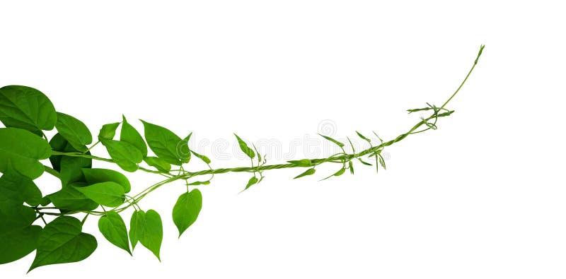 Η καρδιά διαμόρφωσε τις πράσινες αμπέλους αναρρίχησης φύλλων που απομονώθηκαν στο άσπρο υπόβαθρο, πορεία στοκ εικόνα με δικαίωμα ελεύθερης χρήσης