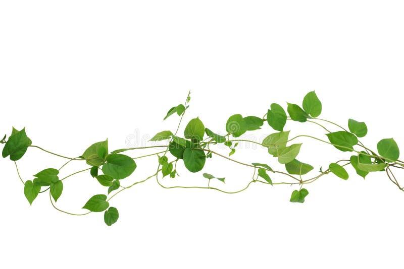 Η καρδιά διαμόρφωσε τις πράσινες αμπέλους φύλλων που απομονώθηκαν στο άσπρο υπόβαθρο, συνδετήρας στοκ εικόνες