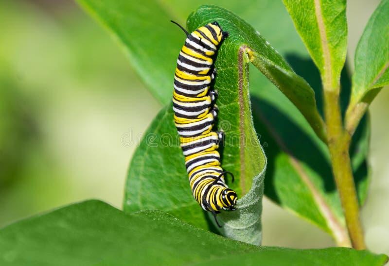 Η κατανάλωση καμπιών πεταλούδων μοναρχών στοκ φωτογραφία με δικαίωμα ελεύθερης χρήσης