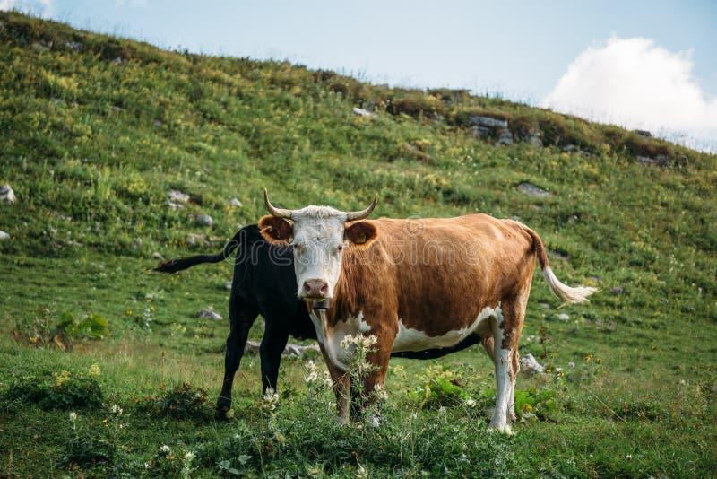 Η καφετιά αγελάδα με το μόσχο στο πράσινο λιβάδι βουνών, αγελάδα εξετάζει τη κάμερα Βοοειδή σε ένα λιβάδι βουνών στοκ εικόνα