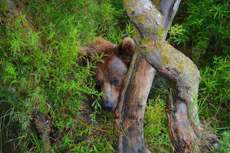 Η καφετιά αρκούδα κρύβει στους θάμνους στοκ εικόνες με δικαίωμα ελεύθερης χρήσης