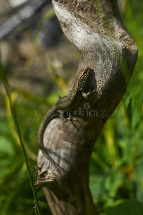 Η καφετιά σαύρα, σαύρα δέντρων, λεπτομέρειες του δέρματος σαυρών κολλά στο δέντρο στοκ φωτογραφία με δικαίωμα ελεύθερης χρήσης