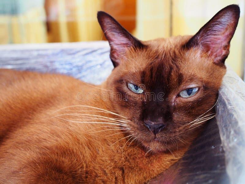 Η καφετιά σιαμέζα γάτα που συρρικνώνεται τα μάτια, κοιτάζει επίμονα, κλείνει επάνω στοκ εικόνες