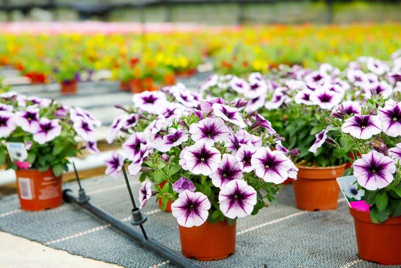Η καλλιέργεια τα λουλούδια στο θερμοκήπιο στοκ εικόνα