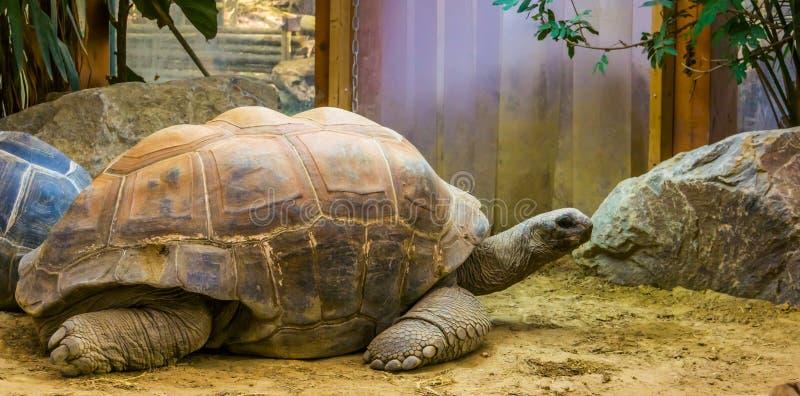 Η κινηματογράφηση σε πρώτο πλάνο ενός γίγαντα aldabra, το μεγαλύτερο specie χελωνών εδάφους στον κόσμο, τροπικό έρπον specie με μ στοκ φωτογραφίες με δικαίωμα ελεύθερης χρήσης