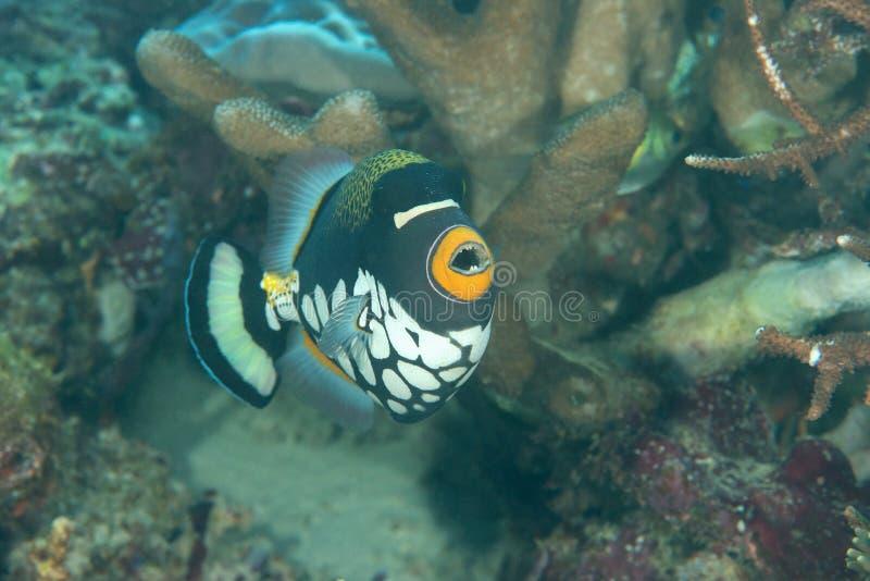 Η κινηματογράφηση σε πρώτο πλάνο ενός κλόουν triggerfish ή triggerfish, conspicillum Balistoides κολυμπώντας πέρα από την κοραλλι στοκ εικόνες με δικαίωμα ελεύθερης χρήσης