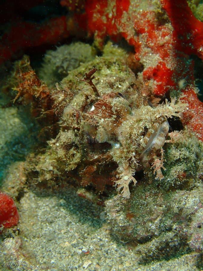 Η κινηματογράφηση σε πρώτο πλάνο και η μακροεντολή που πυροβολούνται του σκορπιού αλιεύουν στον υποβρύχιο κόσμο βουτώντας σε Saba στοκ εικόνα με δικαίωμα ελεύθερης χρήσης
