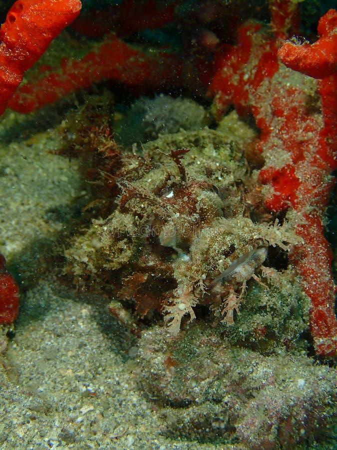 Η κινηματογράφηση σε πρώτο πλάνο και η μακροεντολή που πυροβολούνται του σκορπιού αλιεύουν στον υποβρύχιο κόσμο βουτώντας σε Saba στοκ εικόνες