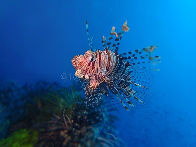 Η κινηματογράφηση σε πρώτο πλάνο και η μακροεντολή που πυροβολούνται του lionfish, κατά τη διάρκεια ενός ελεύθερου χρόνου βουτούν στοκ φωτογραφίες