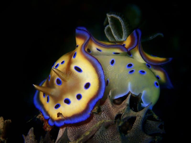 Η κινηματογράφηση σε πρώτο πλάνο και ο μακρο πυροβολισμός του kuniei Goniobranchus nudibranch κατά τη διάρκεια ενός ελεύθερου χρό στοκ εικόνες