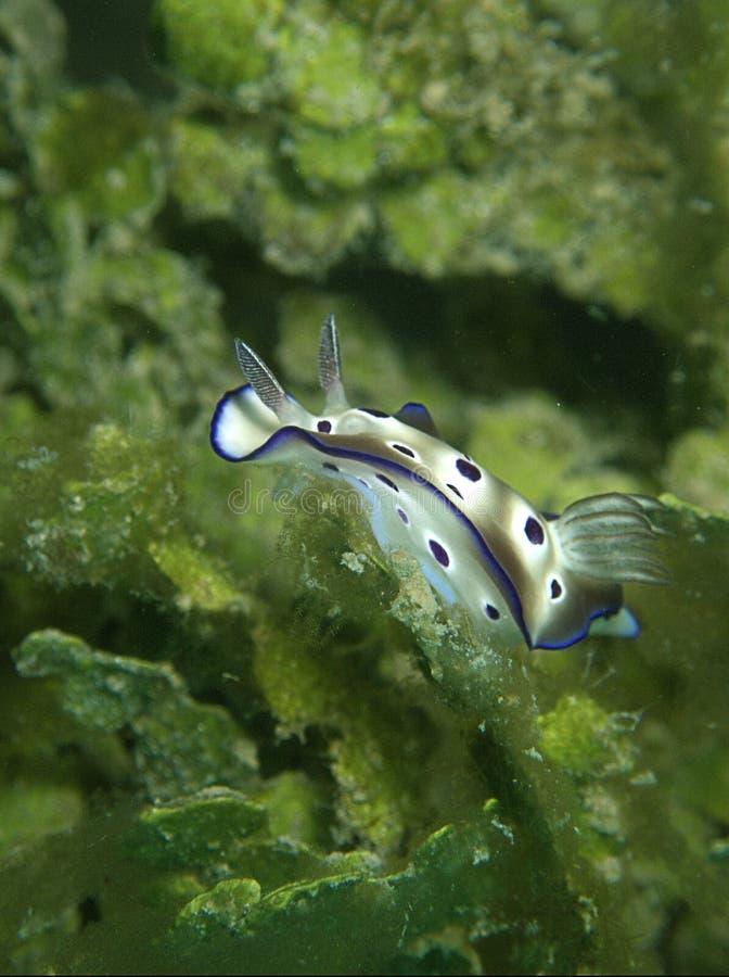Η κινηματογράφηση σε πρώτο πλάνο και ο μακρο πυροβολισμός του tryoni Hypselodoris nudibranch κατά τη διάρκεια ενός ελεύθερου χρόν στοκ εικόνα
