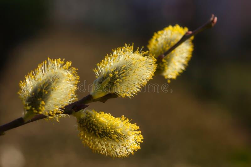 Η κινηματογράφηση σε πρώτο πλάνο του ανθίζοντας κλάδου δέντρων catkin καλλιεργεί την άνοιξη στοκ φωτογραφία