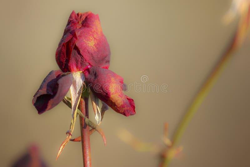 Η κινηματογράφηση σε πρώτο πλάνο του μπουμπουκιού τριαντάφυλλου με το υπόβαθρο στοκ εικόνες