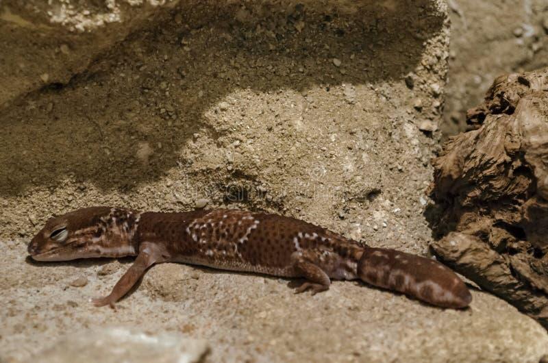 Η κινηματογράφηση σε πρώτο πλάνο του macularius Gecko Eublepharis λεοπαρδάλεων χαλαρώνει στο έδαφος στοκ φωτογραφία με δικαίωμα ελεύθερης χρήσης