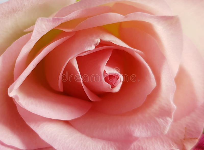 Η κινηματογράφηση σε πρώτο πλάνο τρυφερού αυξήθηκε η ανασκόπηση ρόδινη αυξήθηκ Όμορφο μαλακό λουλούδι στοκ φωτογραφία