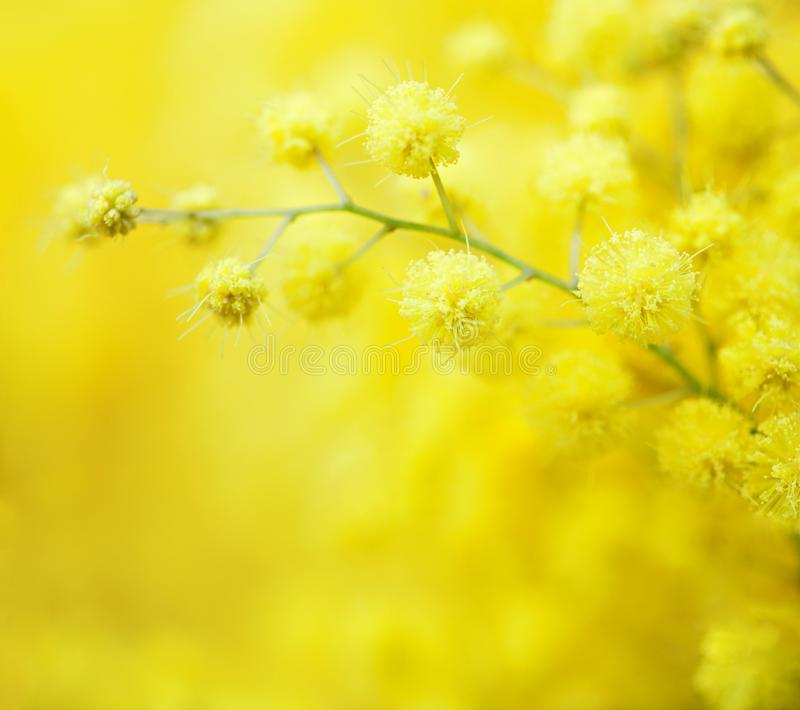 Η κινηματογράφηση σε πρώτο πλάνο των κίτρινων λουλουδιών άνοιξη mimosas επάνω το κίτρινο υπόβαθρο Πολύ ρηχό βάθος του πεδίου Εκλε στοκ φωτογραφίες με δικαίωμα ελεύθερης χρήσης