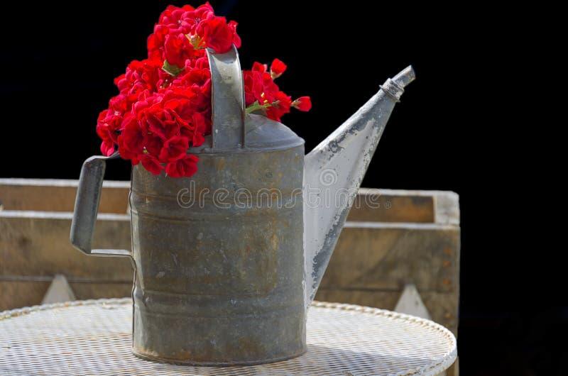 Η κινηματογράφηση σε πρώτο πλάνο των κόκκινων λουλουδιών σε ένα πότισμα μετάλλων μπορεί στοκ εικόνες με δικαίωμα ελεύθερης χρήσης