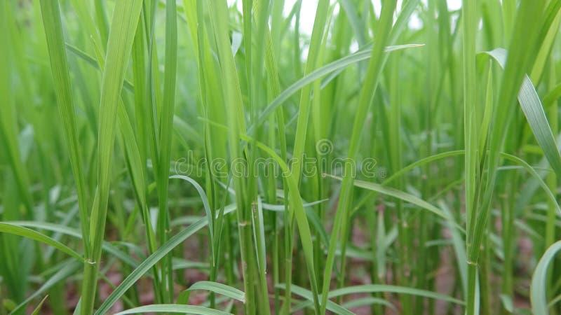 Η κινηματογράφηση σε πρώτο πλάνο των σποροφύτων, αυτό είναι τα σπορόφυτα που καλλιεργούνται από τους αγρότες στοκ εικόνα με δικαίωμα ελεύθερης χρήσης