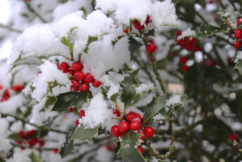 Η κινηματογράφηση σε πρώτο πλάνο των όμορφων κόκκινων μούρων ελαιόπρινου και τα αιχμηρά φύλλα σε ένα δέντρο τον κρύο χειμώνα ξεπε στοκ φωτογραφία
