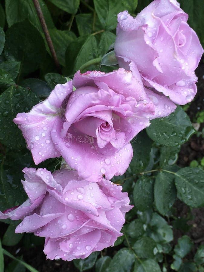 Η κινηματογράφηση σε πρώτο πλάνο lavender τρία αυξήθηκε λουλούδια με τις σταγόνες βροχής στοκ εικόνες