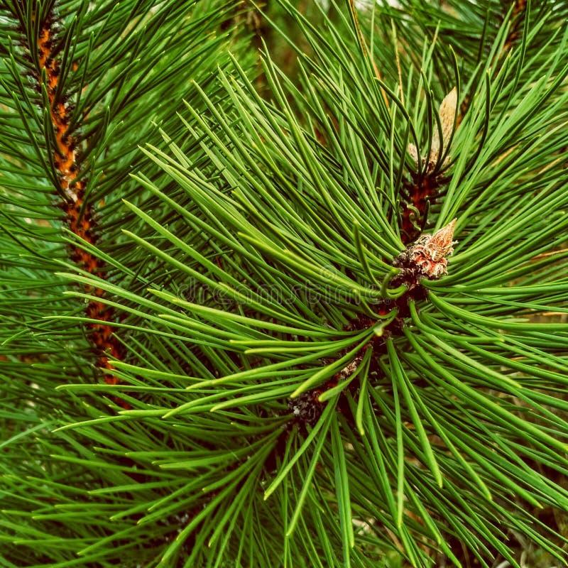 Η κινηματογράφηση σε πρώτο πλάνο του δέντρου έλατου πεύκων Χριστουγέννων διακλαδίζεται υπόβαθρο στοκ φωτογραφίες